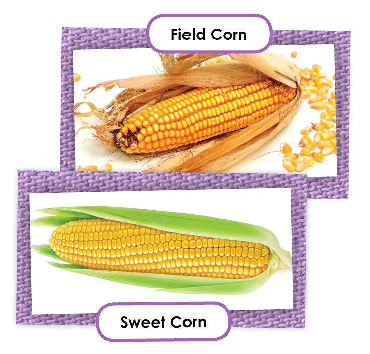 field corn vs sweet corn